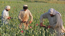 fghan farmers collect raw opium